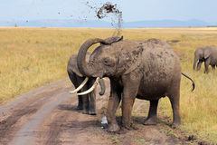 African elephant throwing mud Royalty Free Stock Photos