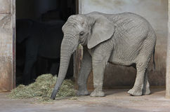 African elephant to eat hay and grass. African baby elephant to eat hay and dry grass royalty free stock photo