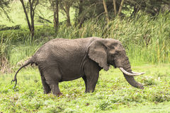 African Elephant to  pooh Stock Image