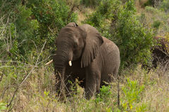 African elephant among the trees. African elephant standing among trees and shrubbery in a natural landscape Stock Photo