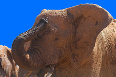 African Elephant Trumpeting. With mud clinging to it's skin Stock Photo