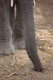 African Elephant trunk and tusks Stock Photo