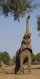 African Elephant with trunk up. African Elephant (Loxodonta africana) with trunk up Stock Photo