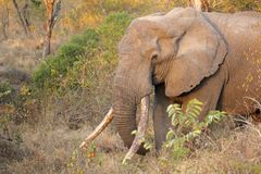 African elephant tusker Stock Photo