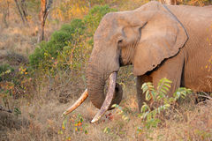 African elephant tusker Royalty Free Stock Image