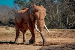 African elephant with tusks royalty free stock photography