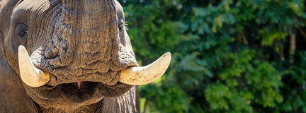 African Elephant Tusks Closeup Horizontal Banner royalty free stock photo