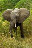 African Elephant Grazing in the Bush. African Elephant with Tusks Grazing in the Bush in Lake Manyara National Park, Tanzania stock photos