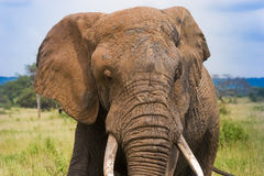 African Elephant with tusks.jpg Stock Photos