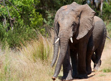 African Elephant with twin trunks Royalty Free Stock Image