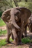 African elephant twists trunk dripping with water Stock Image