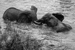 African Elephant. Two elephants playing in water Royalty Free Stock Image