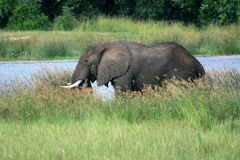 African Elephant, Uganda, Africa Royalty Free Stock Images