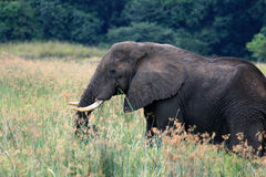 African Elephant, Uganda, Africa Stock Photos