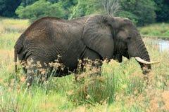 African Elephant, Uganda, Africa Royalty Free Stock Image