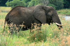 African Elephant, Uganda, Africa Royalty Free Stock Photography