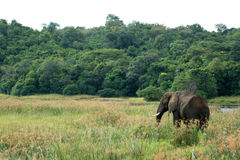African Elephant, Uganda, Africa Stock Images