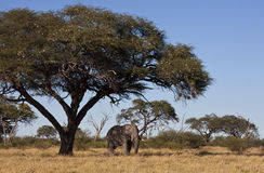 African Elephant under Acacia Tree - Botswana. An African Bull Elephant (Loxodonta africana) in the shade of a Camel Thorn Tree (Acacia erioloba) in the Savuti stock image