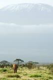 African elephant under Kilimanjaro Royalty Free Stock Images
