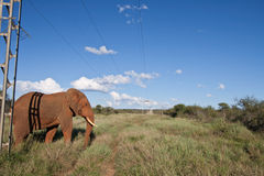 African Elephant under power lines. A wild African Elephant walking under unsightly power lines in the wilderness of South Africa - showing the effect of man on stock photography