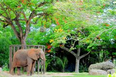 African elephant under tree Royalty Free Stock Photography