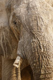 African elephant up close & personal Stock Images