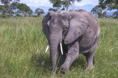 African Elephant up close Royalty Free Stock Photo