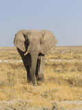 African elephant. In the vast plains of Etosha National Park, Namibia, Southern Africa royalty free stock photo