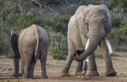African Elephant with Very Long Tusks Looking at Female Stock Photos