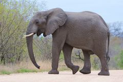 African Elephant. View of  a lone African Elephant Bull Stock Image