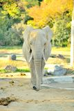 African elephant viewed from the front walking towards the camera Stock Images