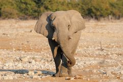 African elephant walk, etosha nationalpark, namibia. Loxodonta africana Royalty Free Stock Photo