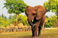 An African Elephant Walking Royalty Free Stock Photos