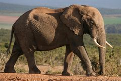African Elephant walking. Large African elephant with big tusks walking Stock Images