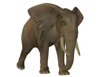 African elephant walking Royalty Free Stock Image