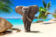 African elephant walking on the beach Stock Image