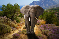 African elephant walking in the bushes. At the coast Royalty Free Stock Images
