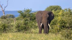 African Elephant walking in bushveld stock photography