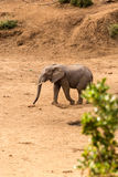African Elephant walking in Dry River Bed, Kruger Park, South Africa stock image
