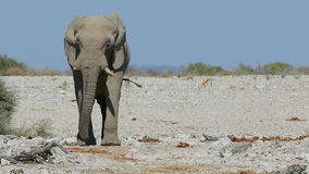 African elephant walking - Etosh stock footage