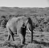 African Elephant Walking stock photo