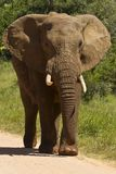 African elephant walking on a gravel road. Portrait of a Large african elephant walking slowly down a gravel road next to the grass edge Stock Photo