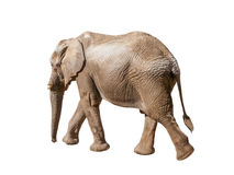 African elephant walking, moving or going away Stock Images