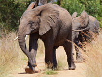 African Elephant walking past Stock Images