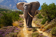 African elephant. Walking on the road Stock Image