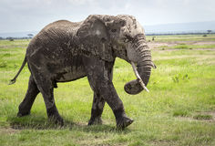African elephant, walking on savannah Royalty Free Stock Photography