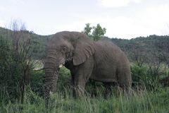 African Elephant in South Africa royalty free stock photo