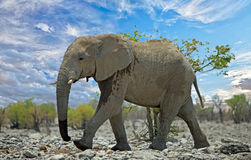 African Elephant walking though the bush in Etosha National Park. Large elephant walking along a bushveld in Etosha National Park, Namibia Royalty Free Stock Photography