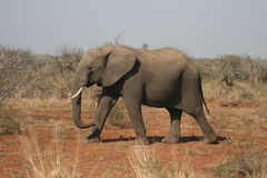 African Elephant Walking in the Wild African Bush Royalty Free Stock Images