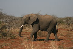 African Elephant Walking in the Wild African Bush Royalty Free Stock Photo